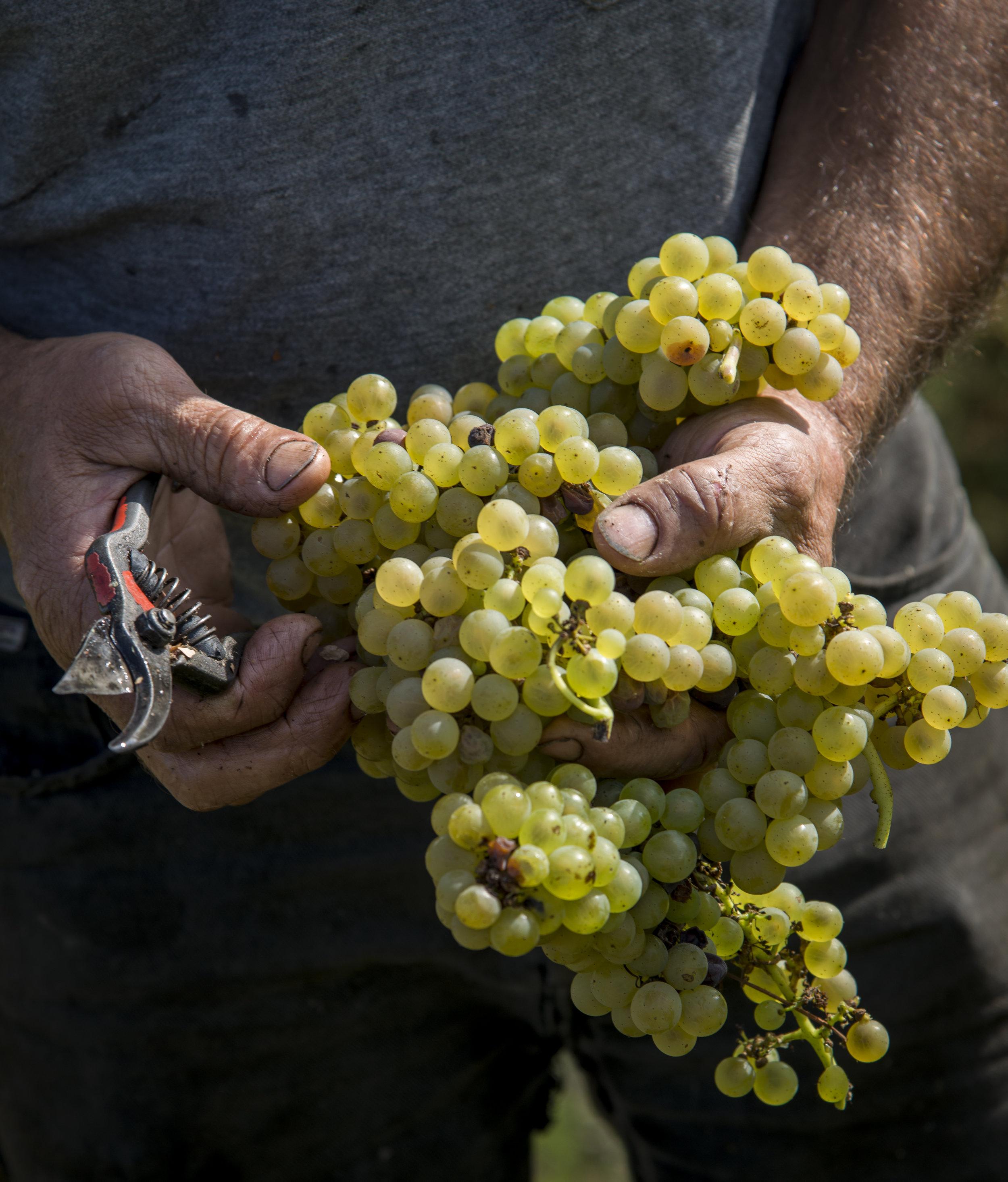 Hands holding Melon de Bourgogne grapes – close up    Photos (courtesy of Domaine Landron)