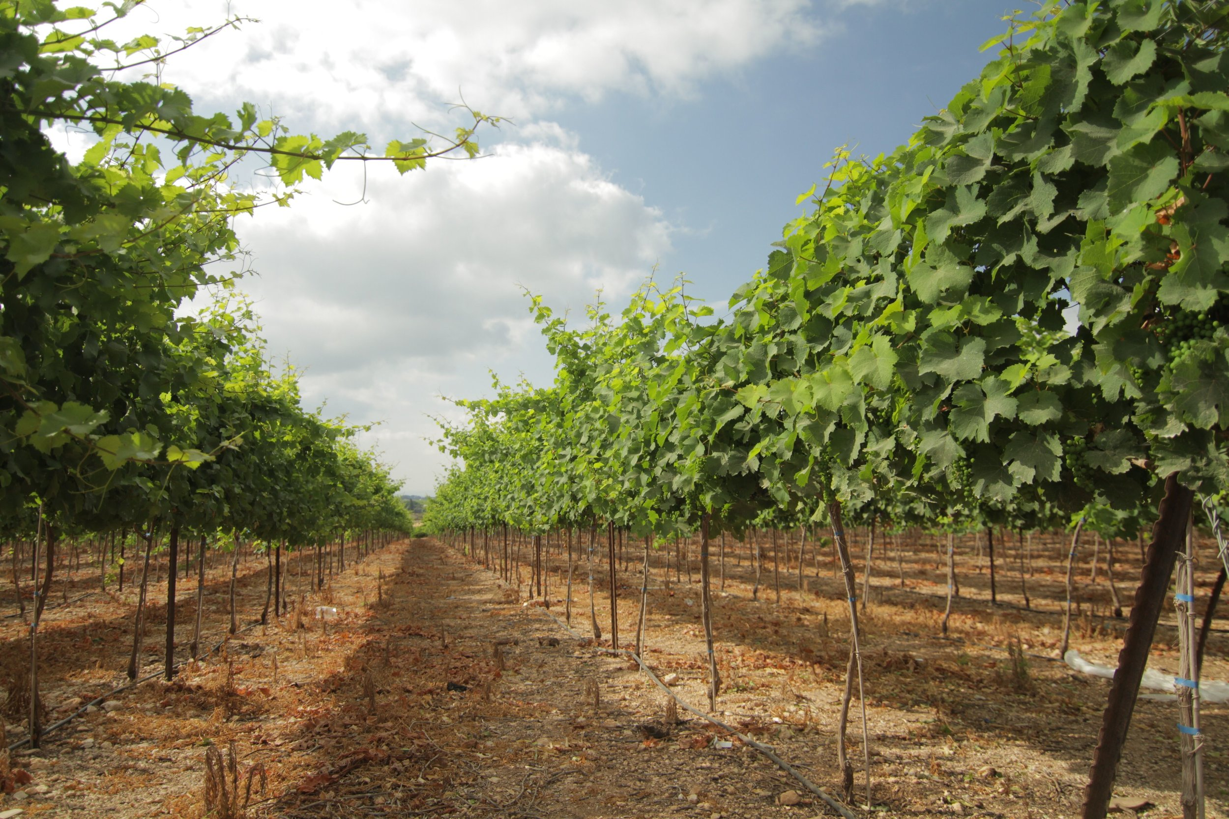Margalit's Kadita Vineyard
