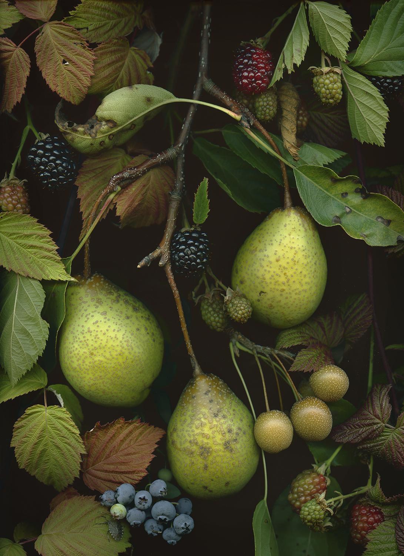 OSU Pears