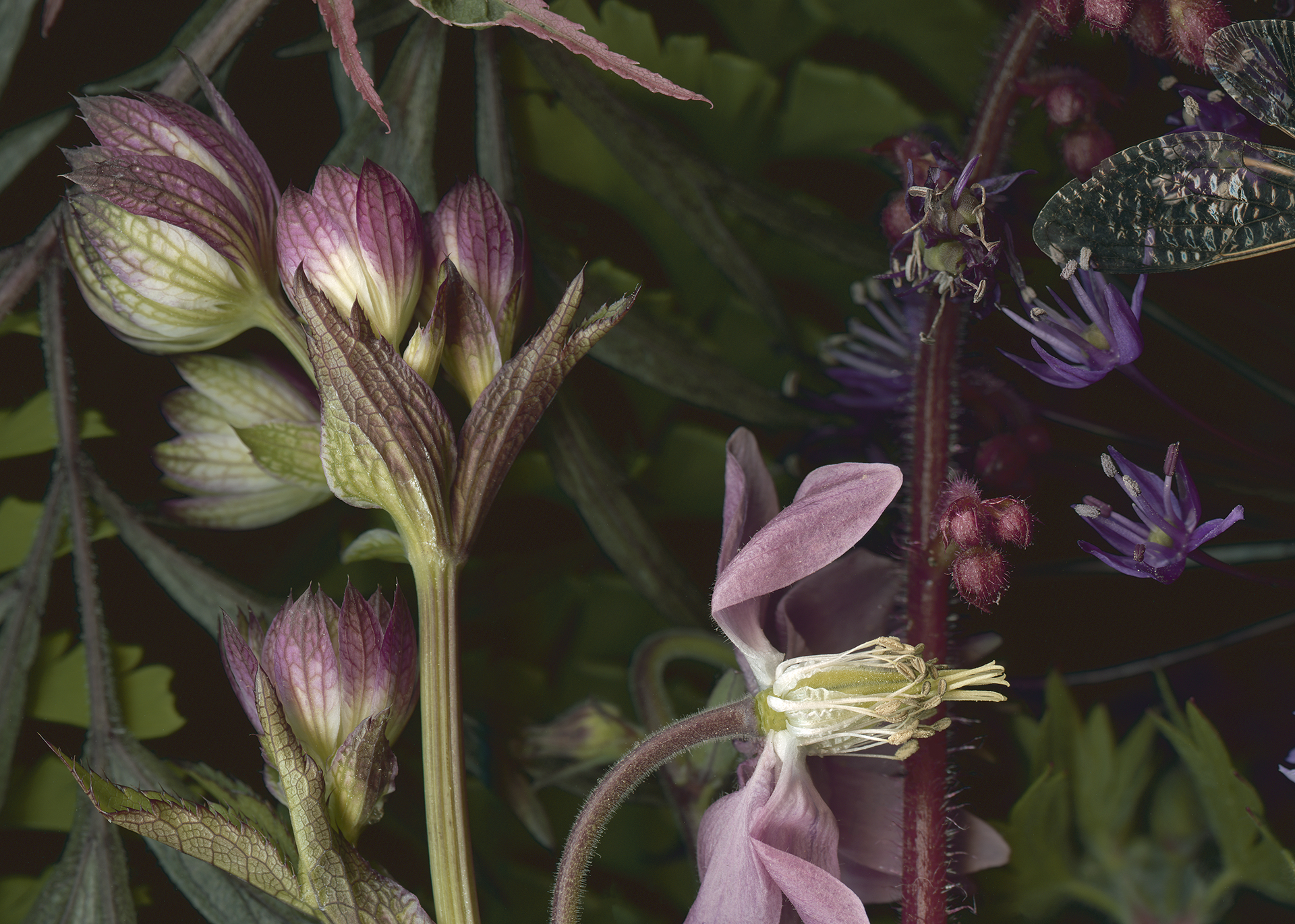 detail of Cinnabar Moth and Columbines