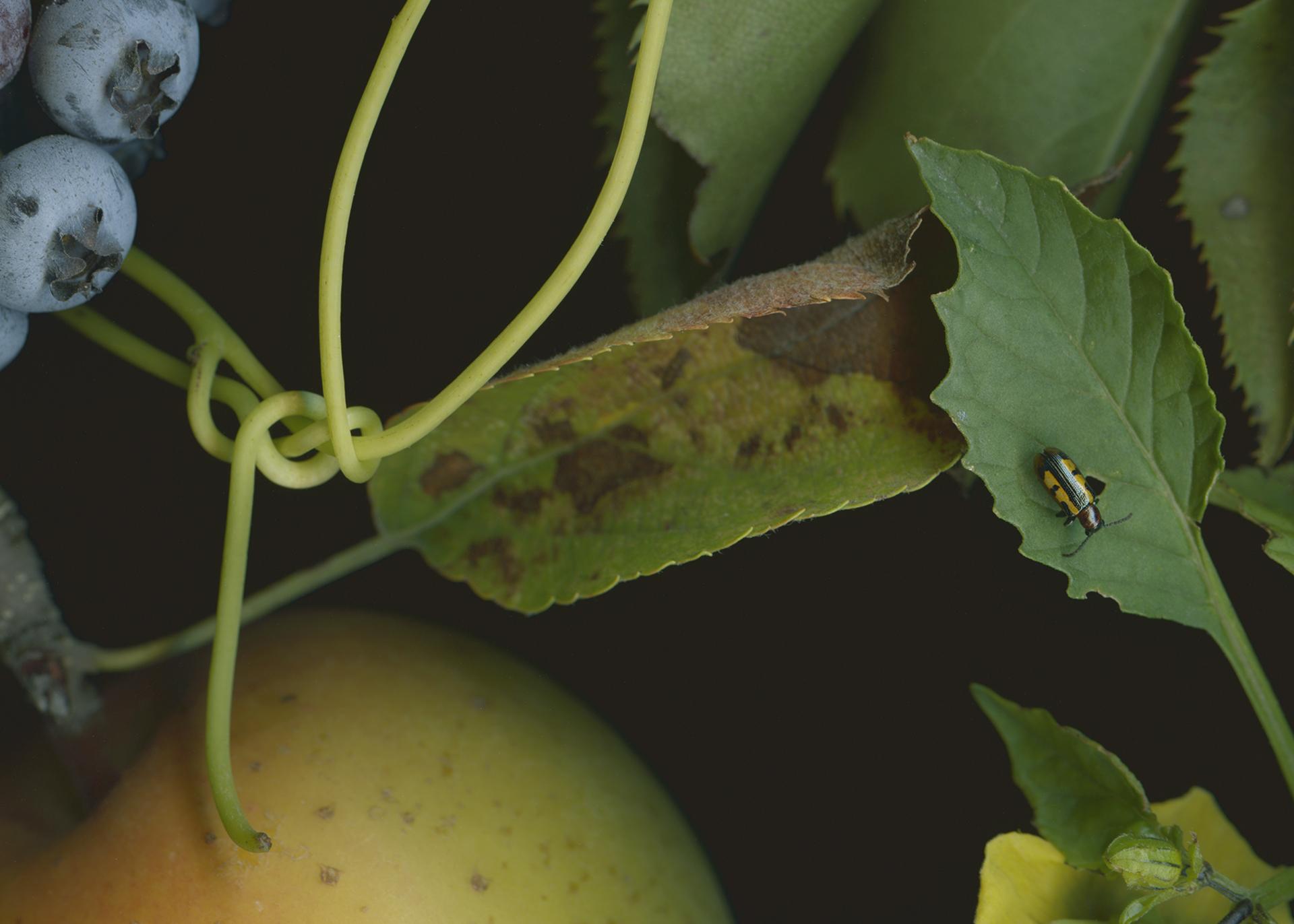 Detail of Blueberries, Blackberries, and Indigo Pear Drops