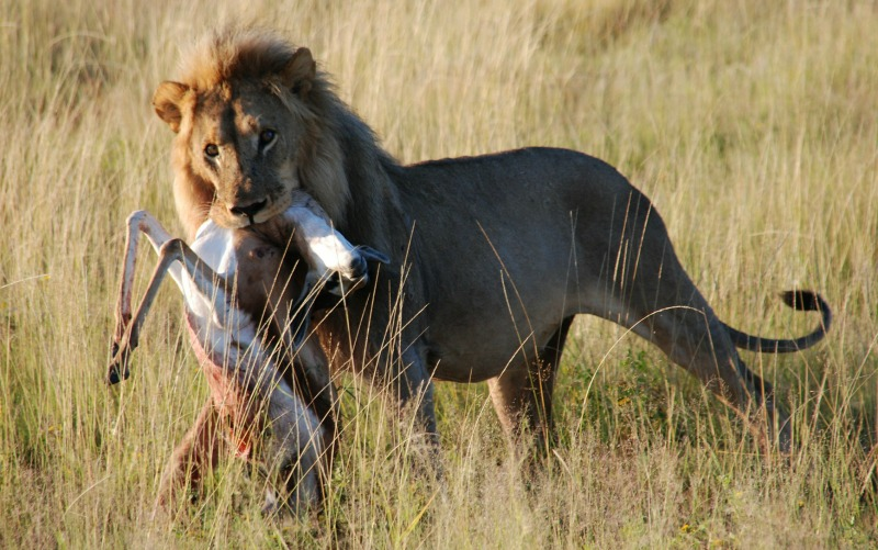 lion-with-prey.jpg