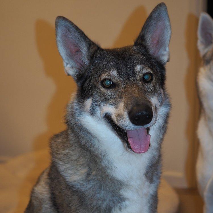 Dam: Sophie (Saxon Canis Venatici)