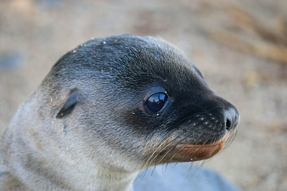 Sea-lion-pup_David-Nelson-1000x667.jpg