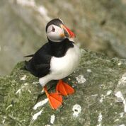 Resident puffin of Orkney