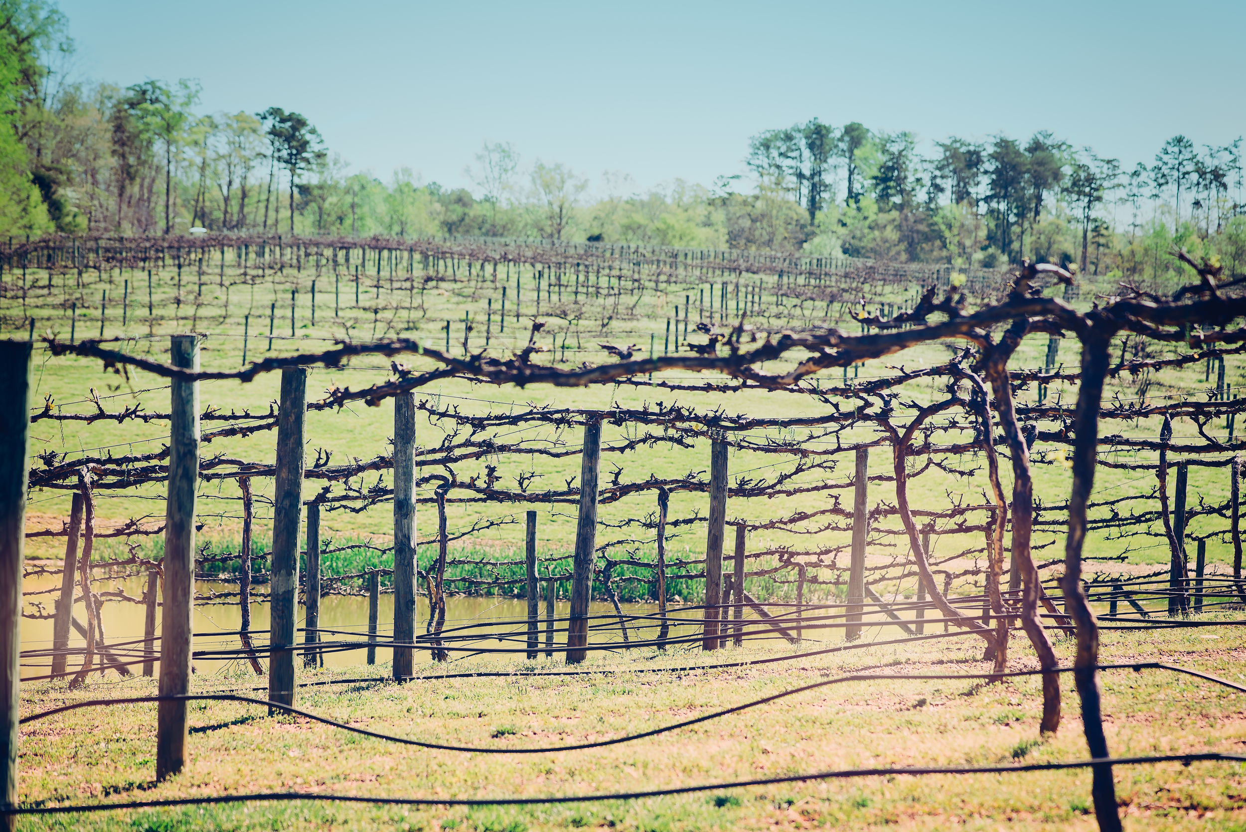 View of the vines at the Rocky River Vineyards, Midland, NC in early April