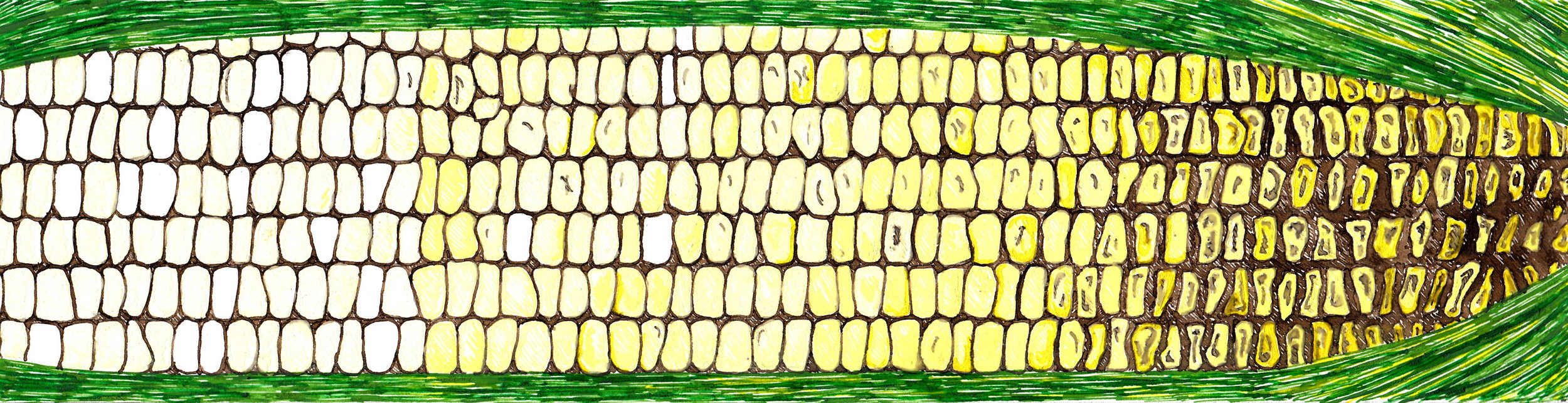 """Corn,"" 2017, 12x3"" Pen and Ink"
