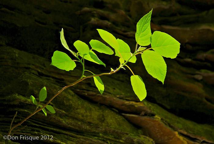 Sunlit_Leaves.jpg