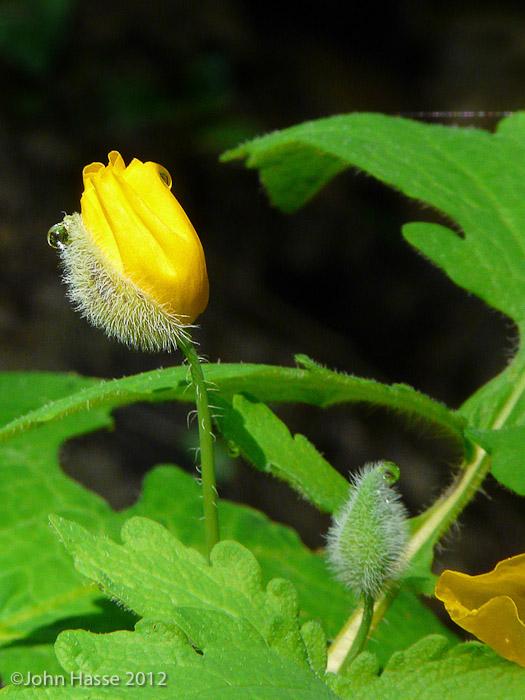 Yellow_Wood_Poppy.jpg