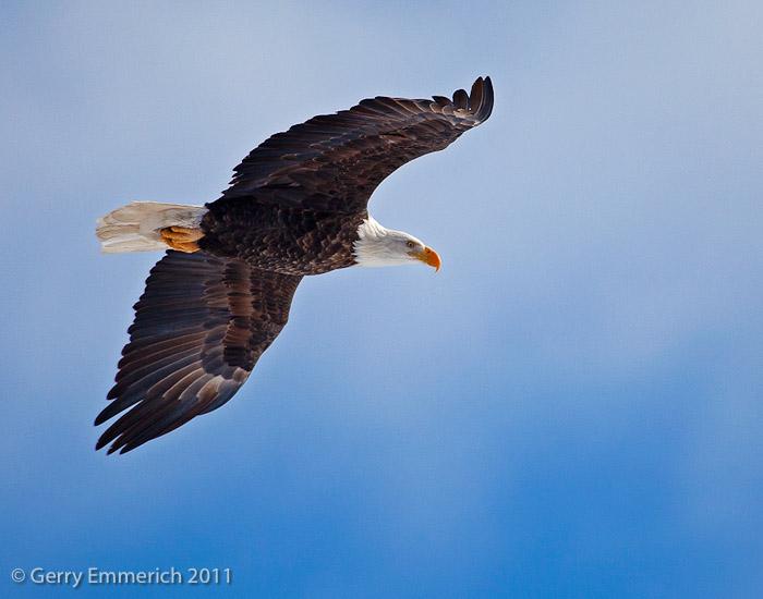 Flying_Bald_Eagle_2.jpg