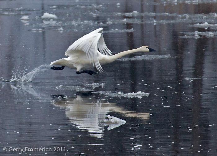Trumpeter_Swan_Take_off_2.jpg