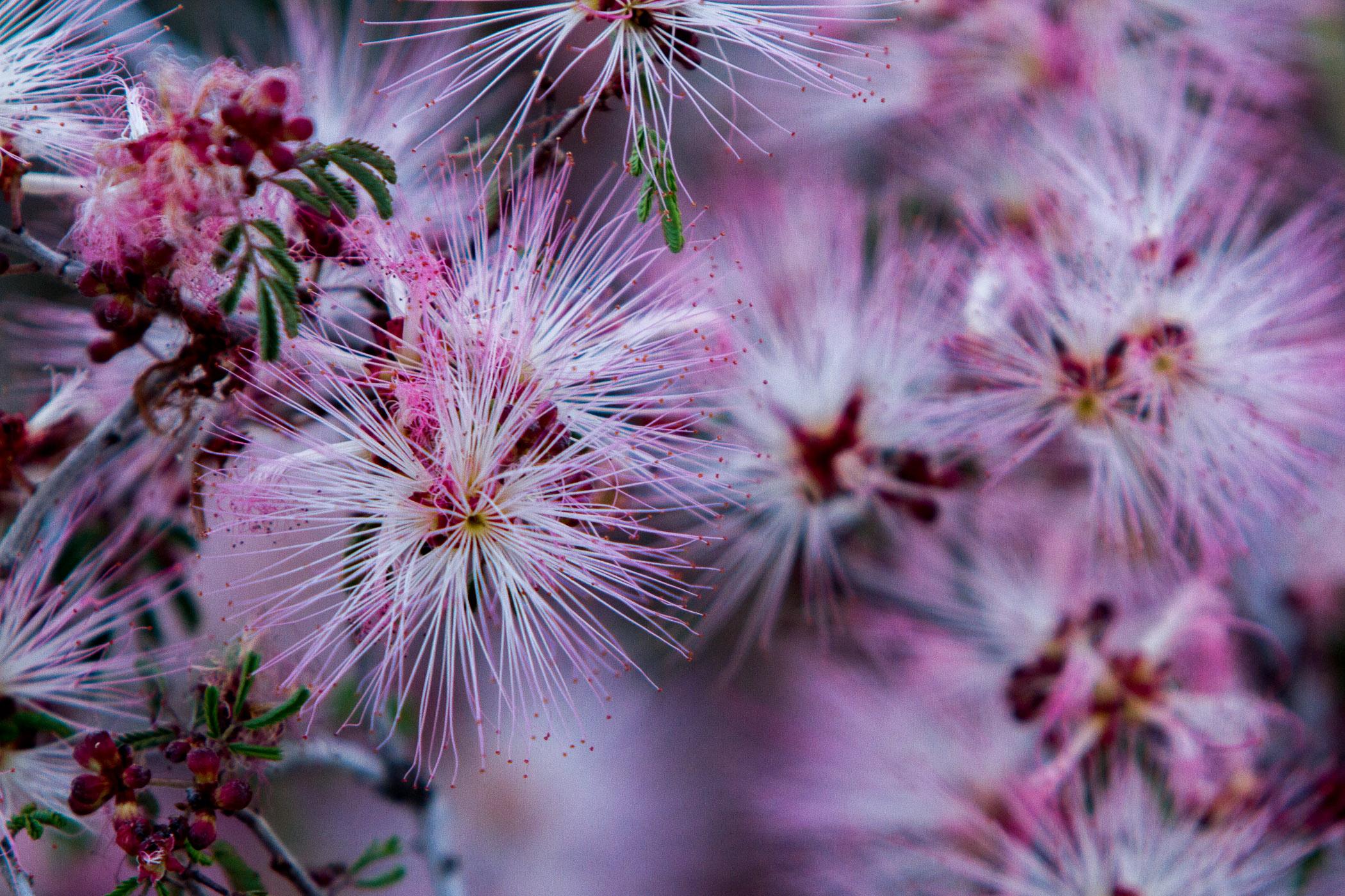Fairy Dusters - Phoenix