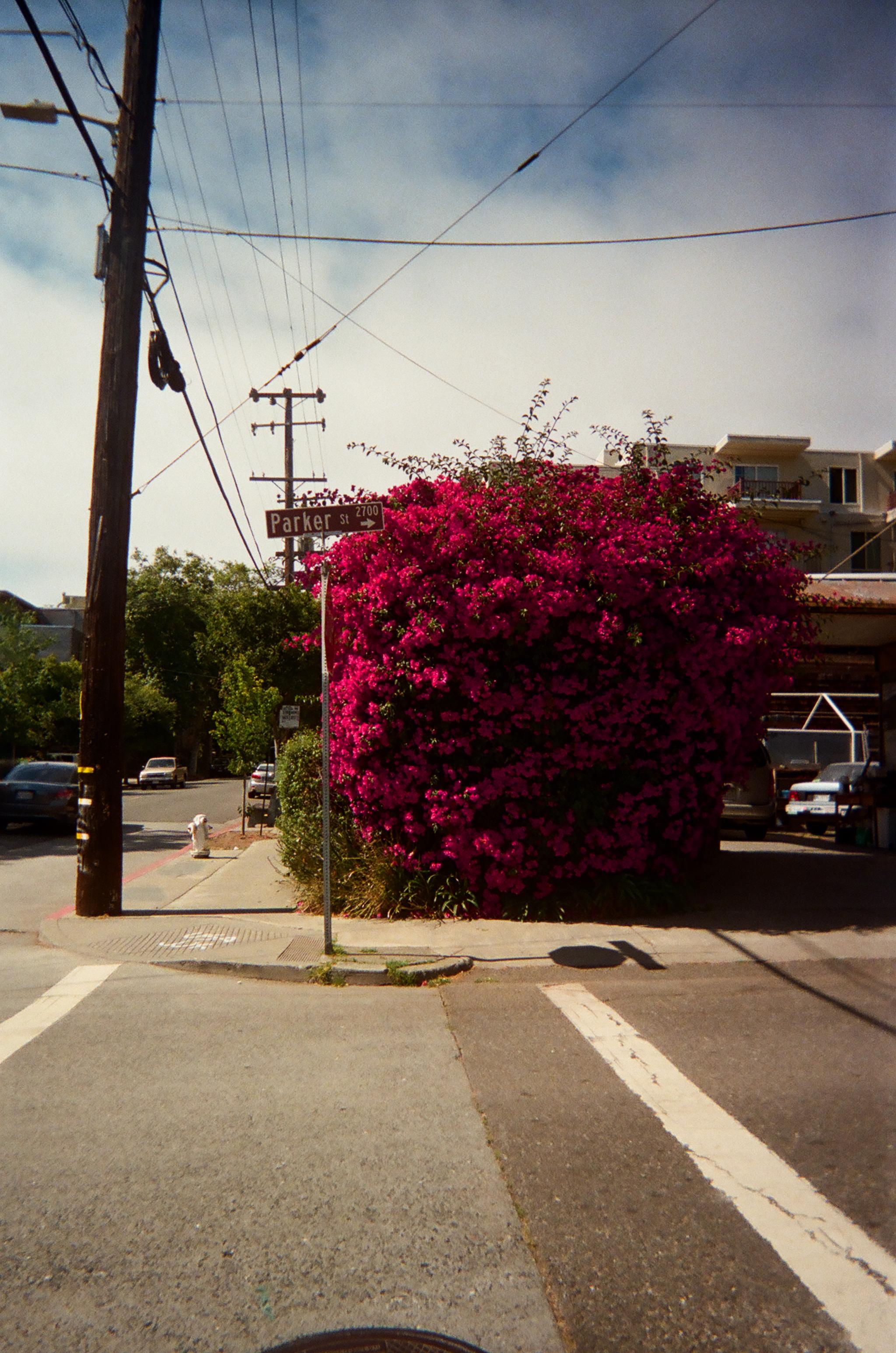 Bougainvillea on College Ave . Berkeley, CA.