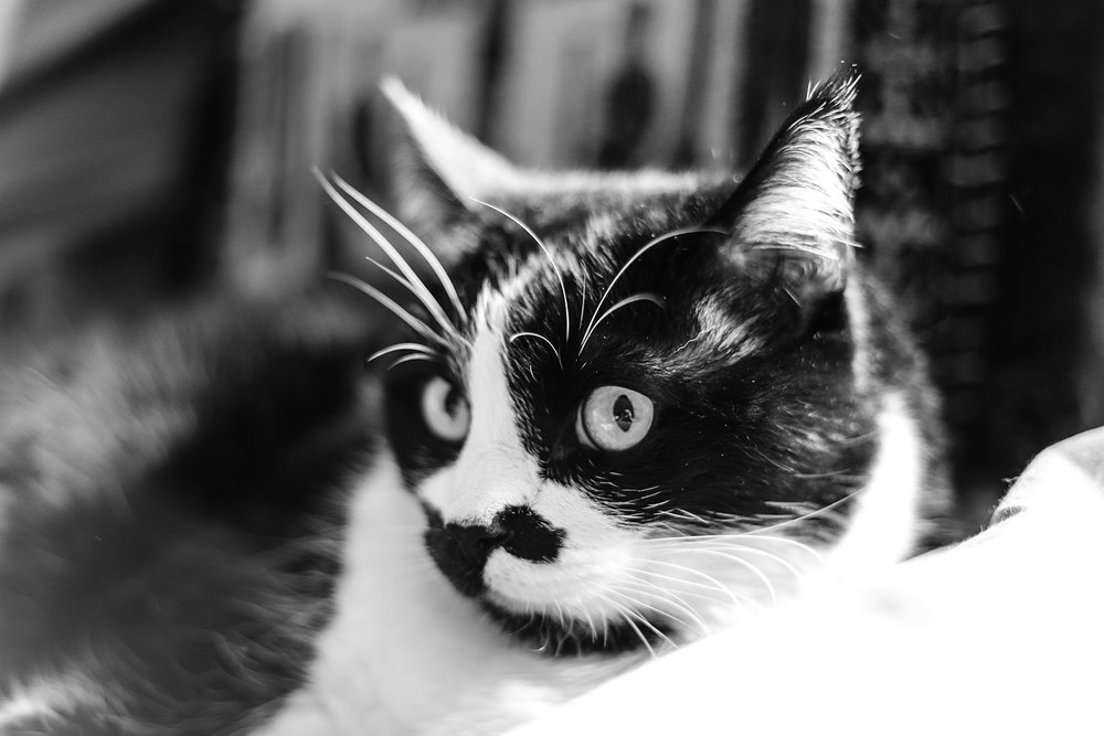 Black & White Cat, kitty whiskers,