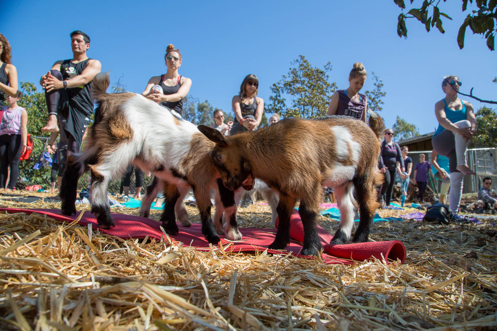 goat_yoga (36 of 126).jpg