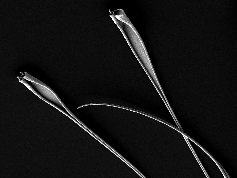 Curled platinum-gold metal bilayer