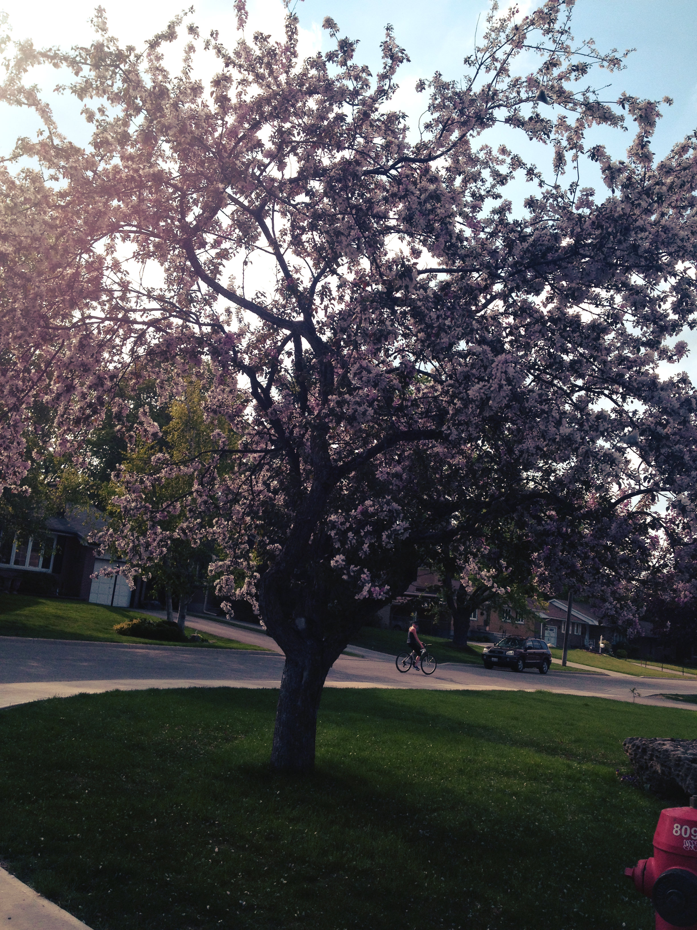Pink blossom tree 2
