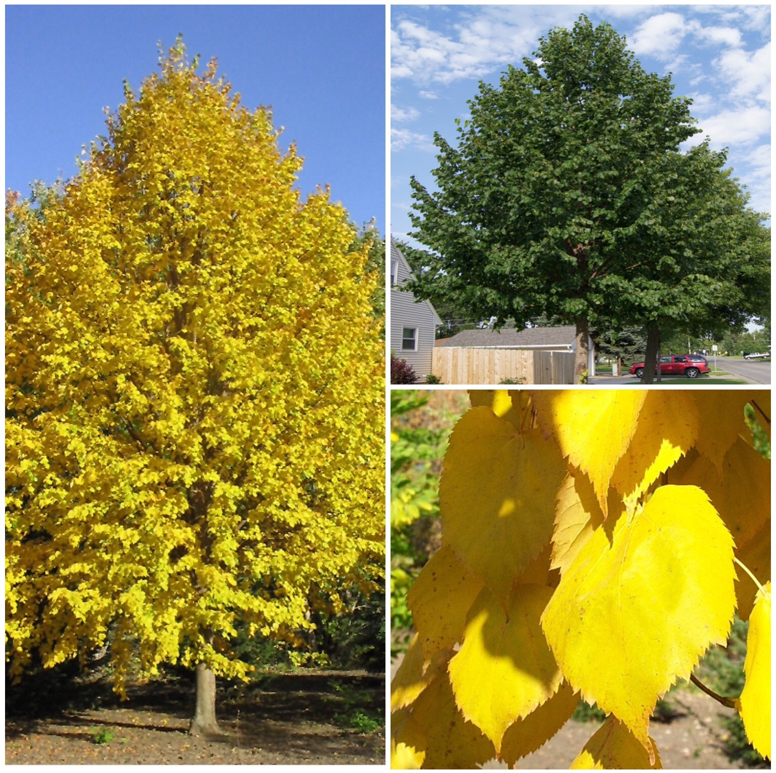 Harvest Gold Linden Tree   Photo Courtesy of Jeffries Nurseries Ltd. & North Dakota Tree Selector