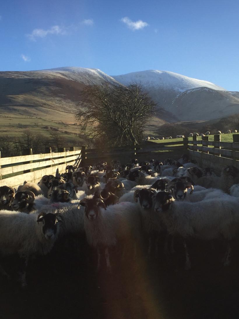lake-district-sheep
