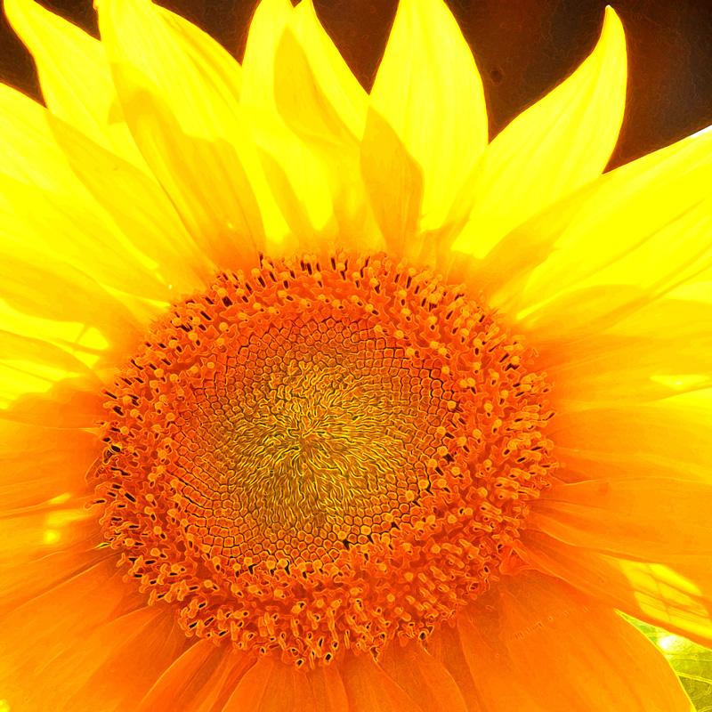 NK auringonkukka.jpg