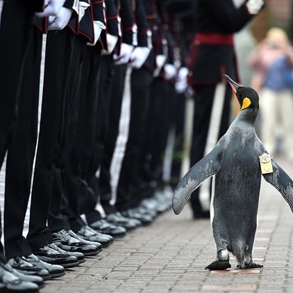 Third in line with the presentations of the counties is Norway 🇳🇴 The Guard mascot of the Norwegian King is a king penguin named Brigadier Sir Nils Olav. He doesn't live in Norway though, his residence is in the Edinburgh Zoo in Scotland, where he receives regular visits from the King.