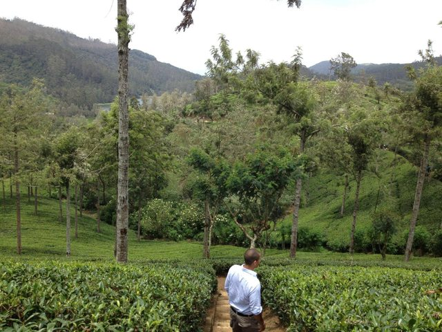 Lover's Tea Plantation