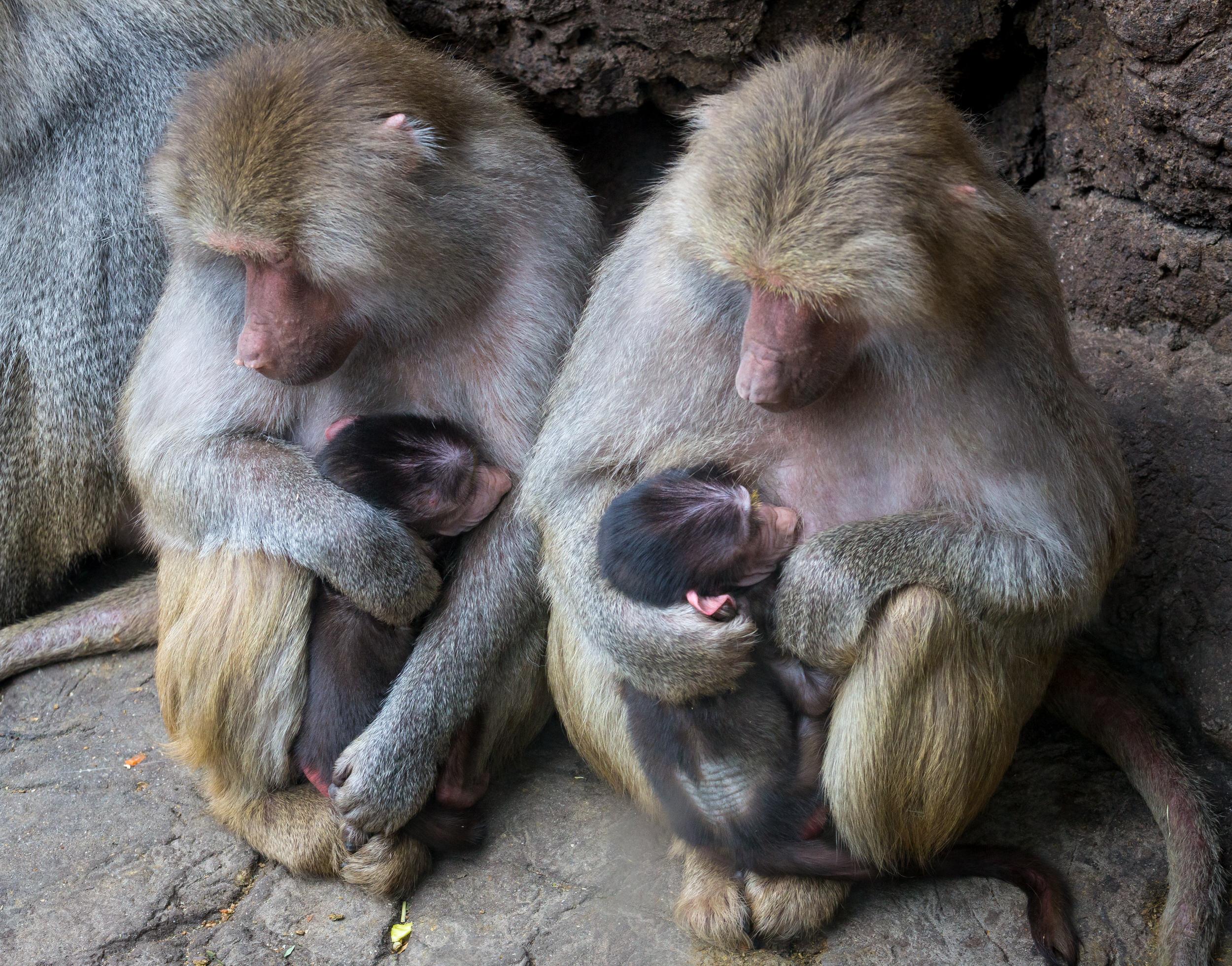 Baboon moms.jpg