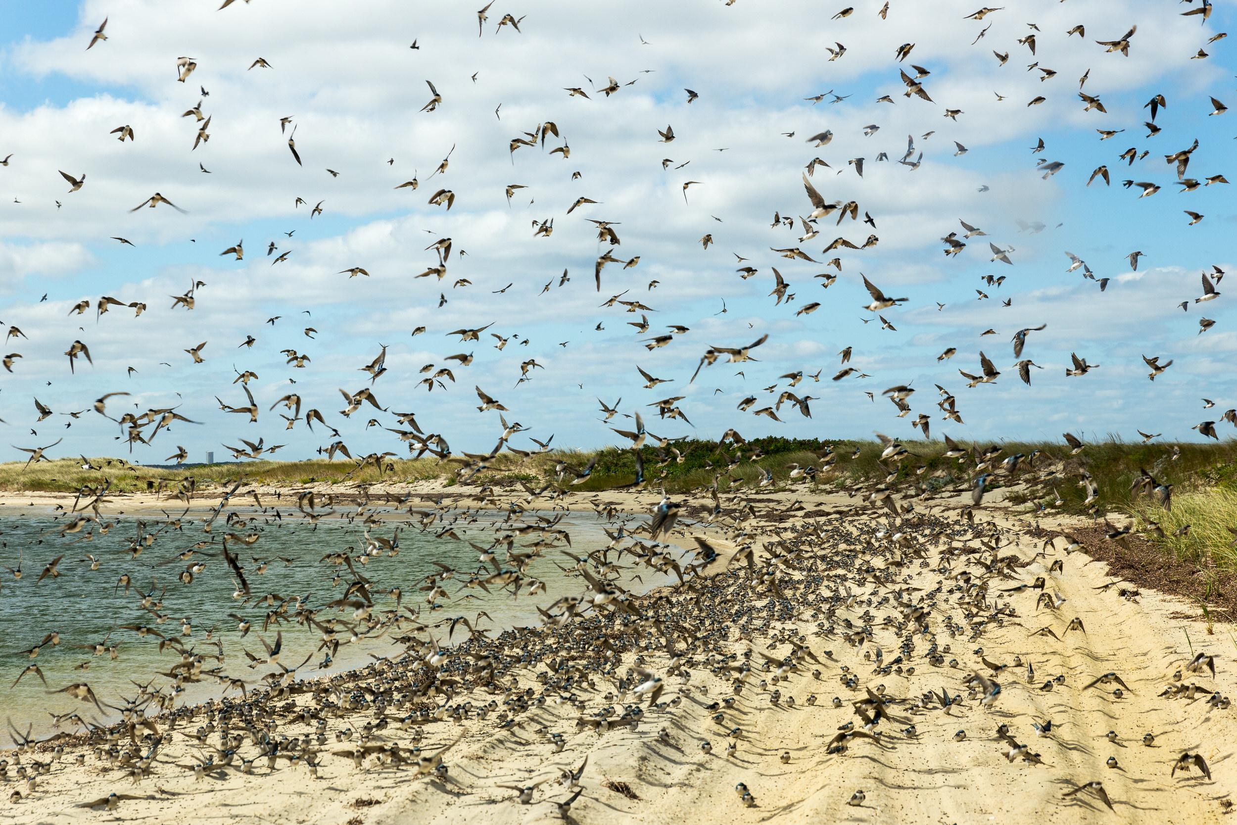 Chappaquiddick birds.jpg