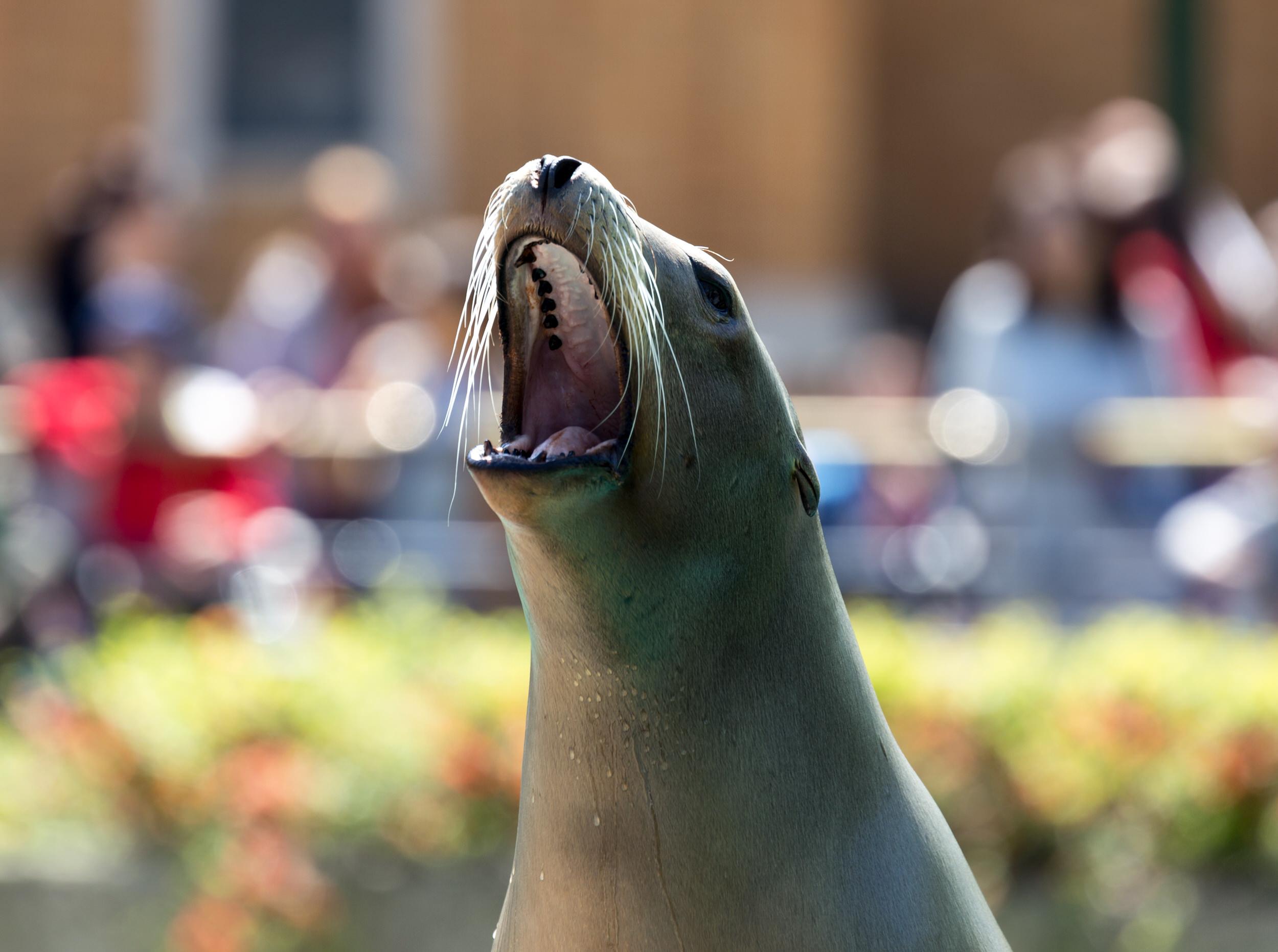 Hungry sea lion.jpg