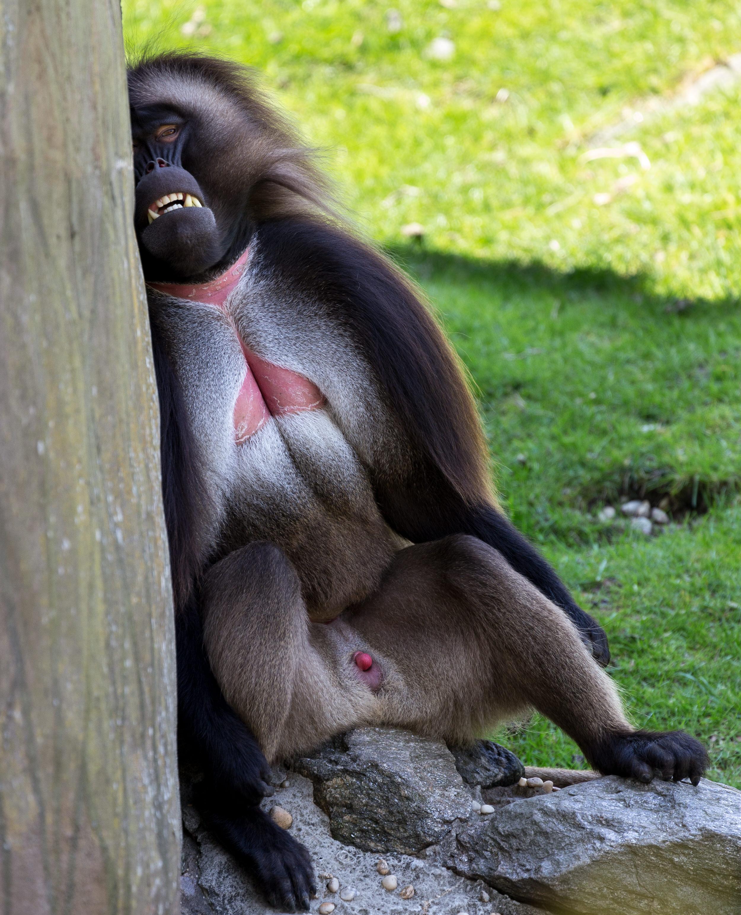 Orangutan at the Bronx Zoo