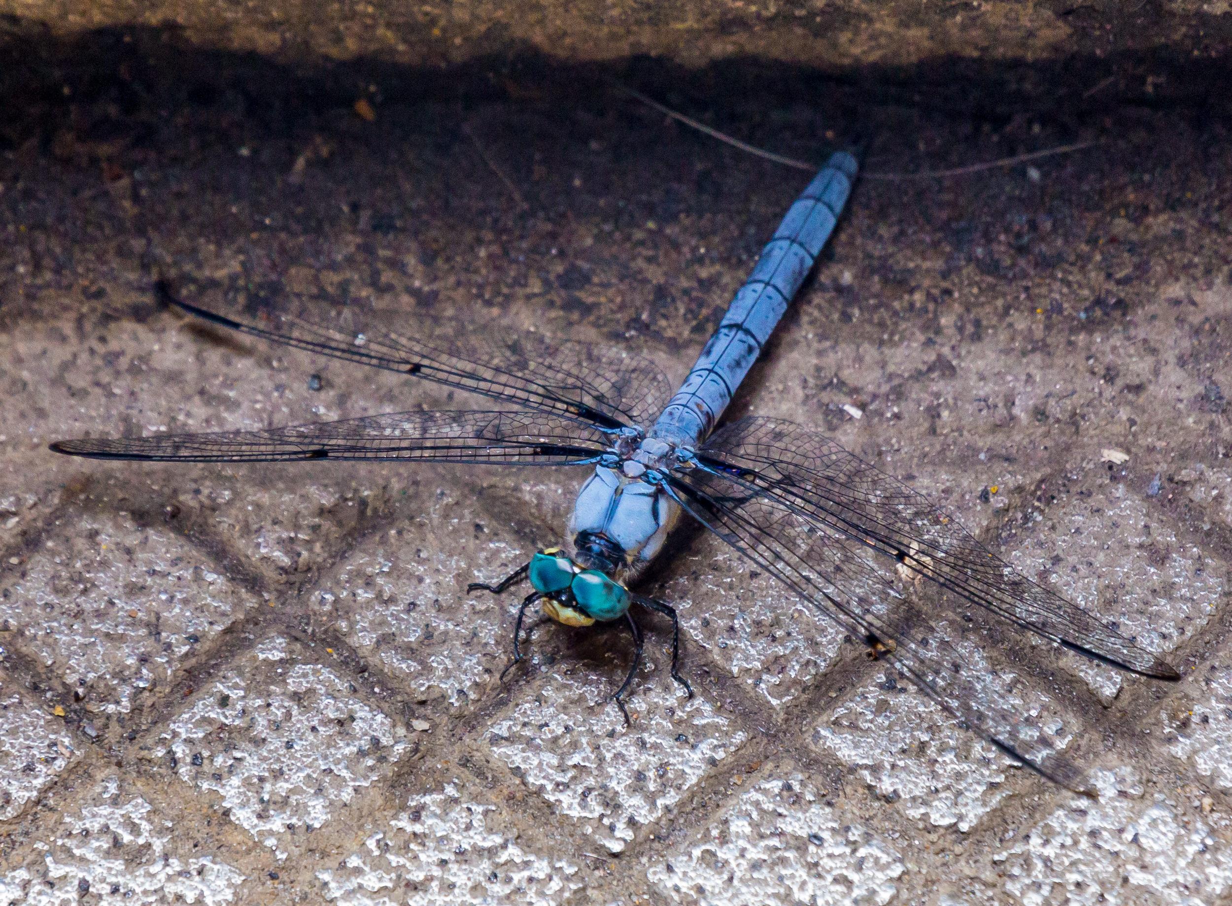 Subway dragonfly.jpg