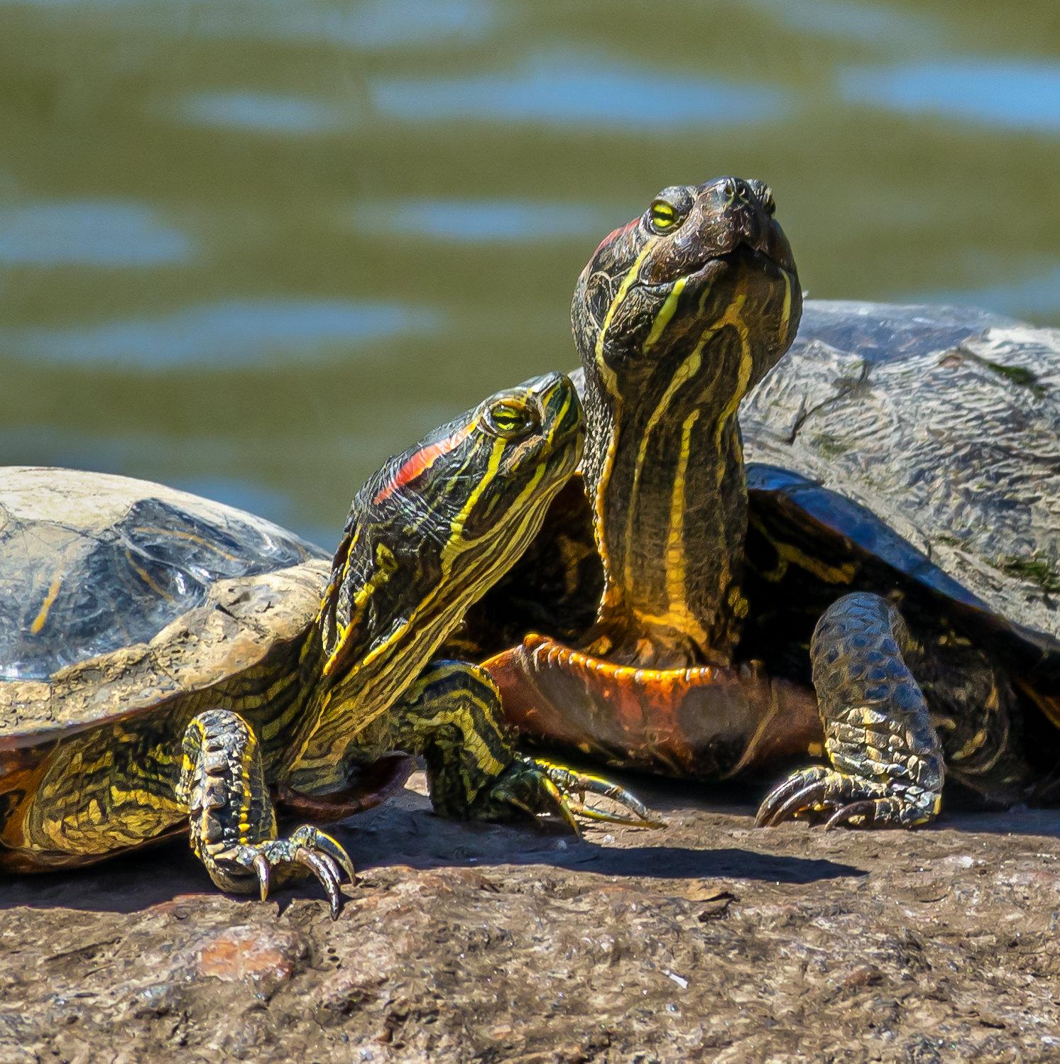 Central Park turtles.jpg