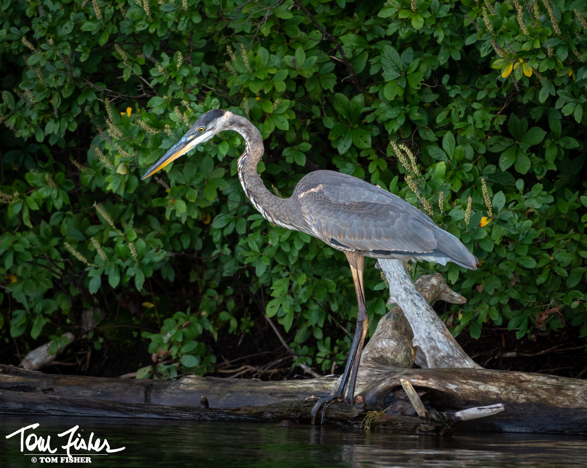 Great Blue Heron signed.jpg