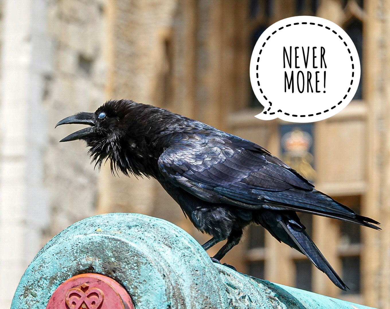 One of the famous Tower Ravens that roam the grounds by the dozen. Their wings are clipped.