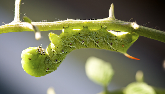TOBACCO HORNWORM:STRIPES ARE STRAIGHT