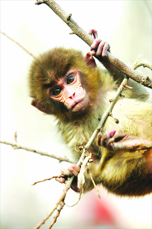 A rhesus monkey sparked primate panic at Dongdan Park.