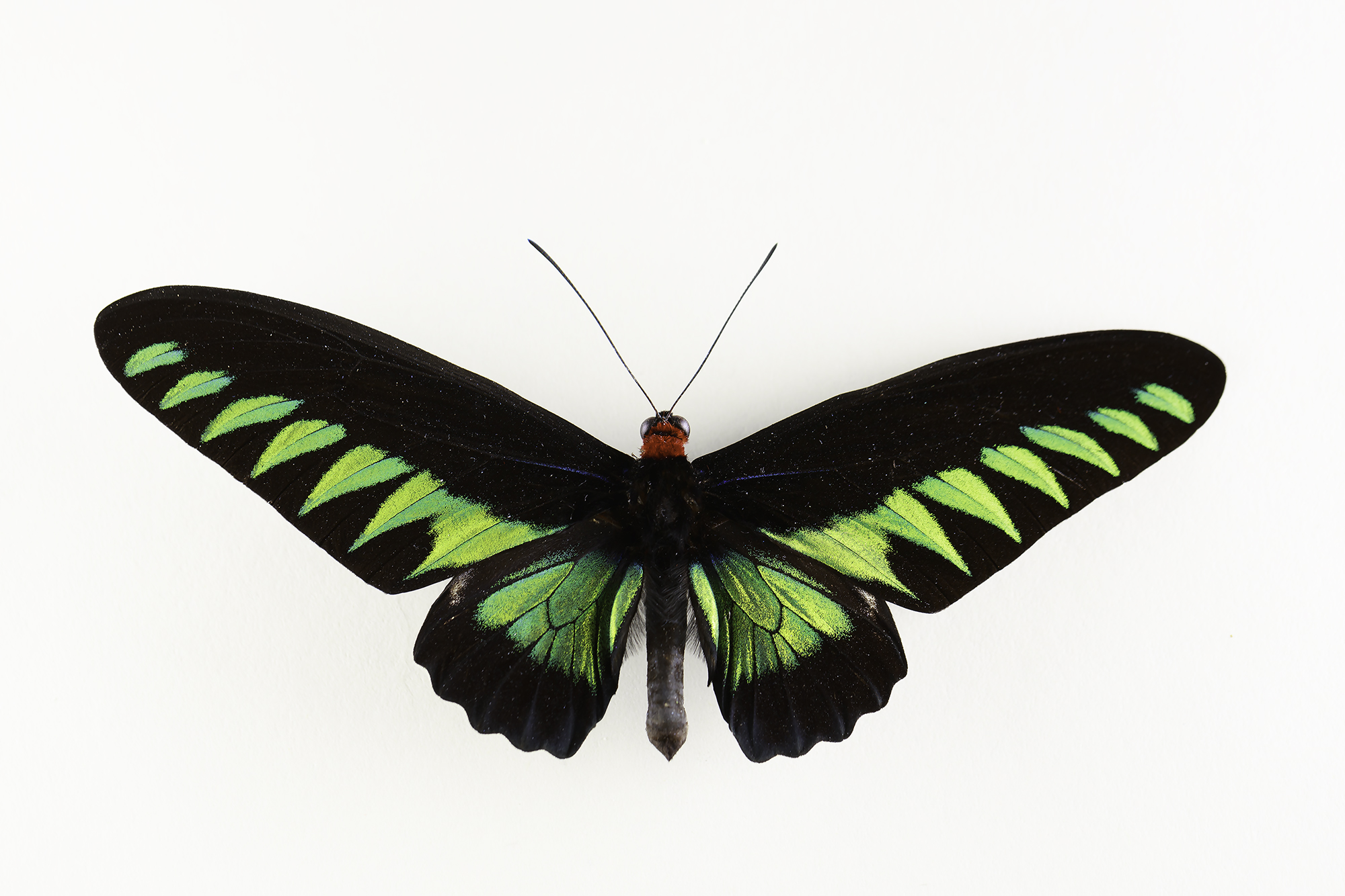 """Trogonoptera brookiana -  Rajah Brooke's birdwing   This is a male birdwing butterfly from the rainforests of the Thai-Malay Peninsula,Borneo,Natuna.  The magnificent Rajah Brooke's Birdwing was discovered on Borneo in 1855 by the legendary explorer and naturalist Alfred Russell Wallace. It is widely distributed throughout Borneo, Sumatra, Palawan and the central states of West Malaysia, and in a few areas is very abundant, but populations are quite localised. It also occurs as a scarce species in Thailand.  Sadly the butterflies are killed in vast numbers, mainly by Orang Asli children, paid a pittance for the dead specimens by dealers who sell them on to gift shops. The majority are badly damaged because the children are unskilled with butterfly nets, and often use crude methods of killing - sometimes the butterflies are attracted to a sticky """"bait"""" which glues their wings to the ground, or sometimes they are killed by throwing small stones at them.  Ref:http://www.learnaboutbutterflies.com/Malaysia%20-%20Trogonoptera%20brookiana.htm"""