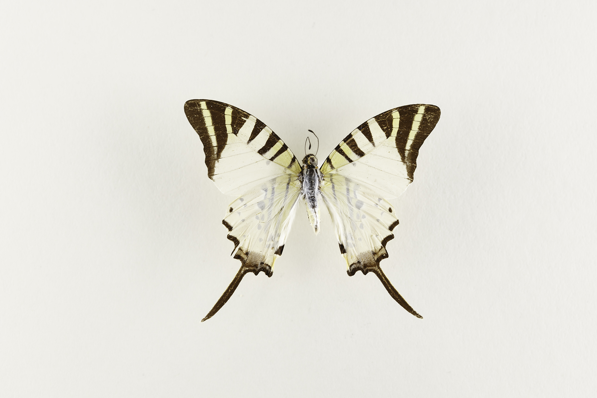 Graphium Antiphates -  Fivebar Swordtail    Found in South-east Asia .