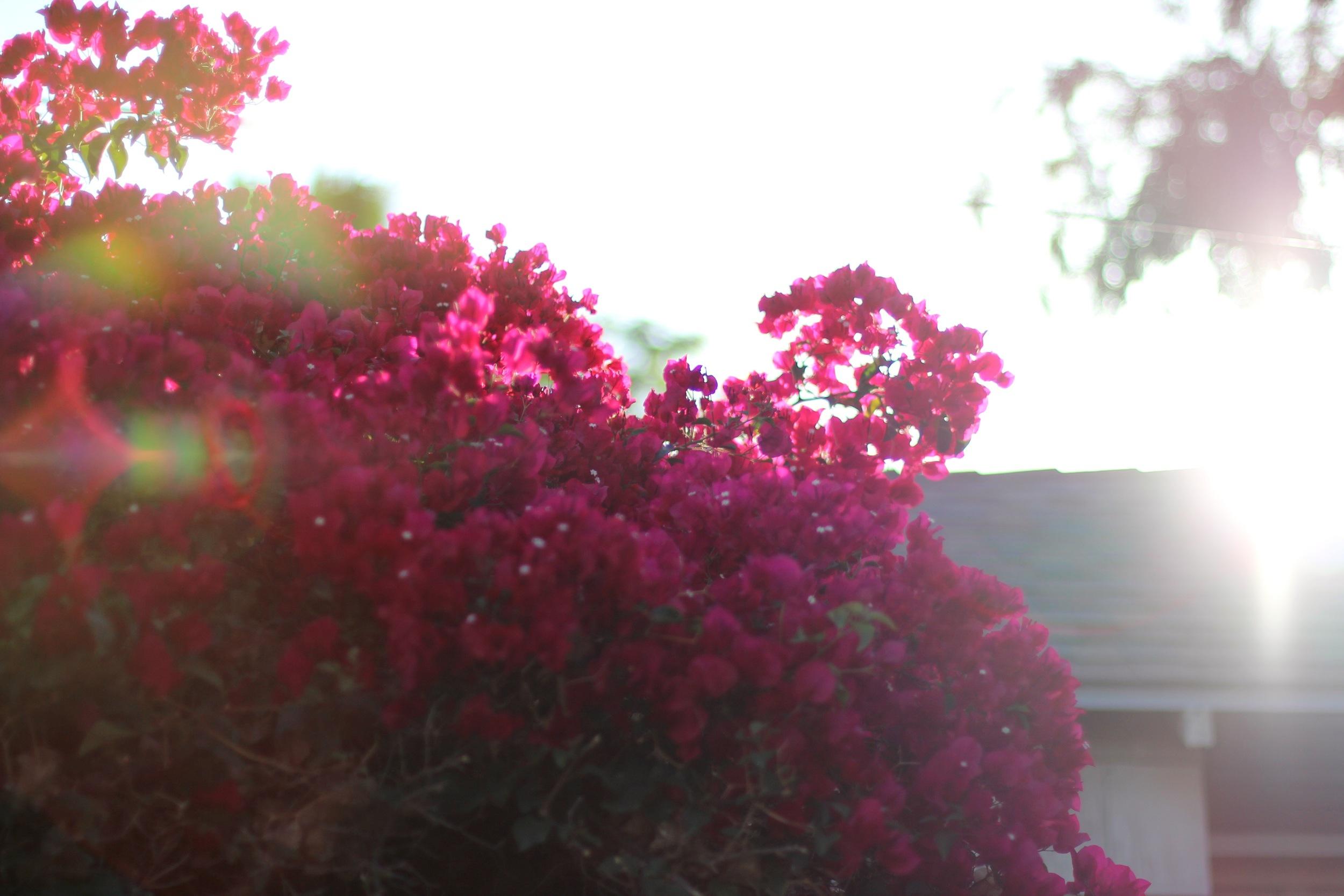 Bougainvillea and light (Los Feliz, CA)