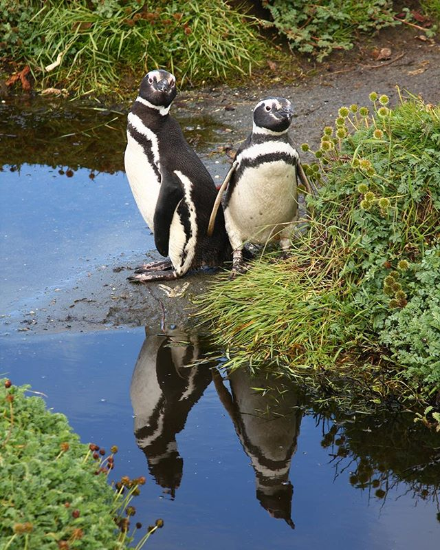 2 peas in a pod | Chile, 2011 #penguins #penguin #chile #chileanpatagonia #nature #animals #water #grass #reflection #reflections #photo #photography #photooftheday #naturelovers #naturephotography #animallovers #penguinlove #puntaarenas #puntaarenaschile