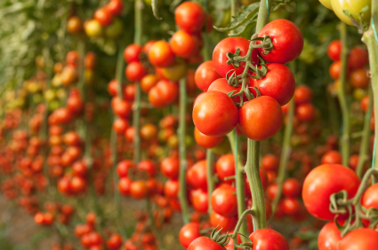 tomatoes cherry.jpg