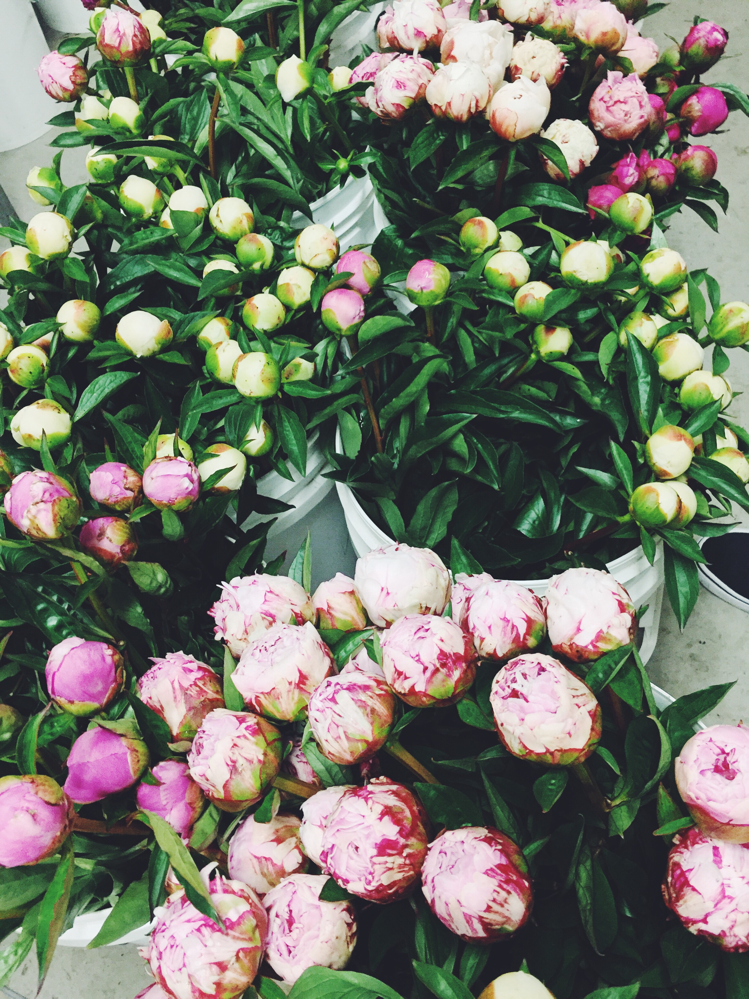 Fresh picked peonies in the chill room waiting to fill customer orders