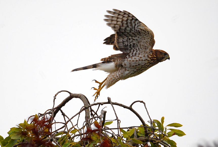 Nature - hawk taking off.jpg
