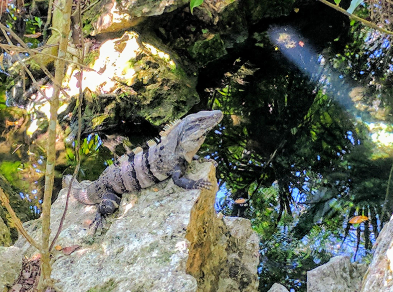 Pre-historic iguanas sunbath on rocky outcroppings above the warm baths.