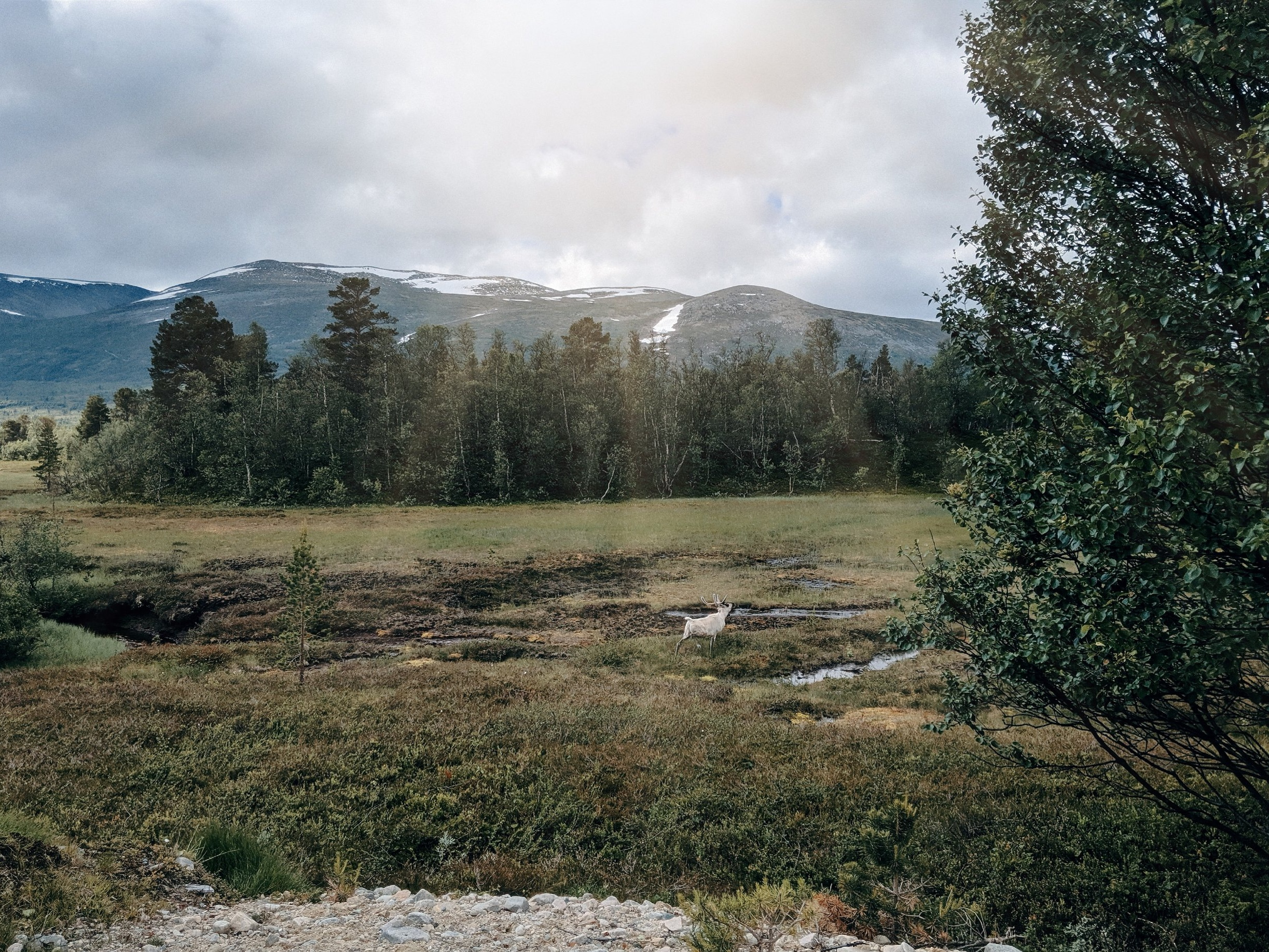 Wild Reindeer in Trollheimen