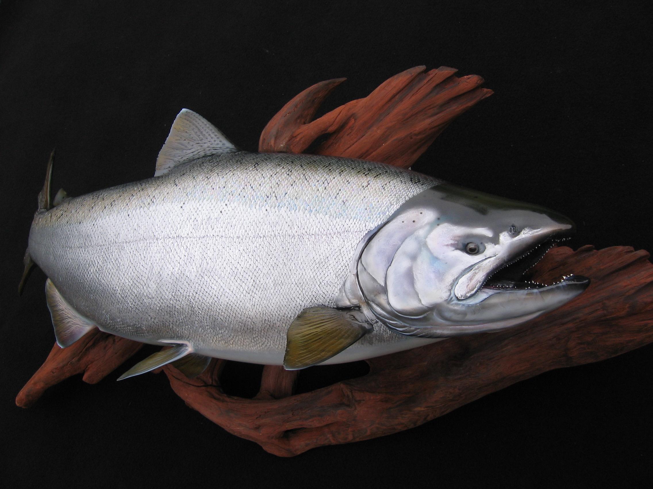 King Salmon fish art replica sculpture on cedar driftood Luke Filmer Blackwater replicas