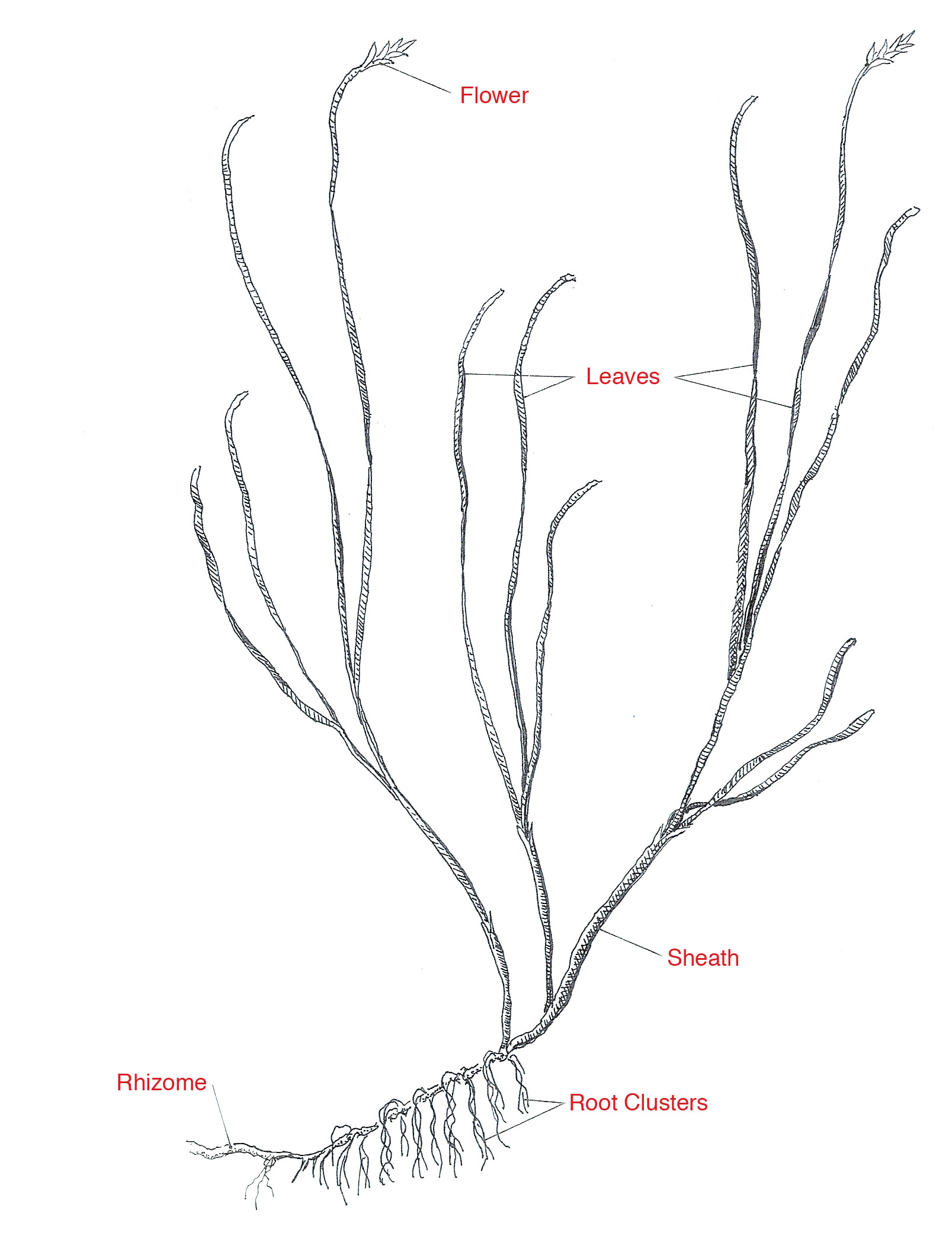 The anatomy of an eelgrass plant. Drawing by Dana Gaines.