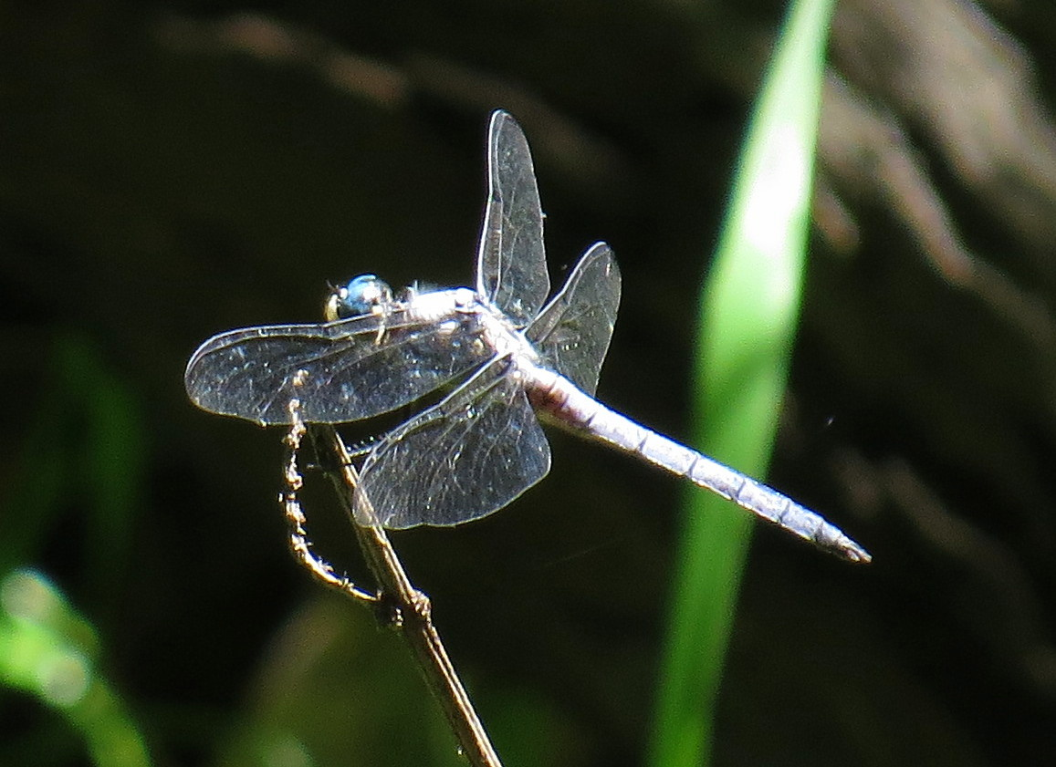 Great Blue Skimmer on the Taunton River, Great River Preserve, Bridgewater