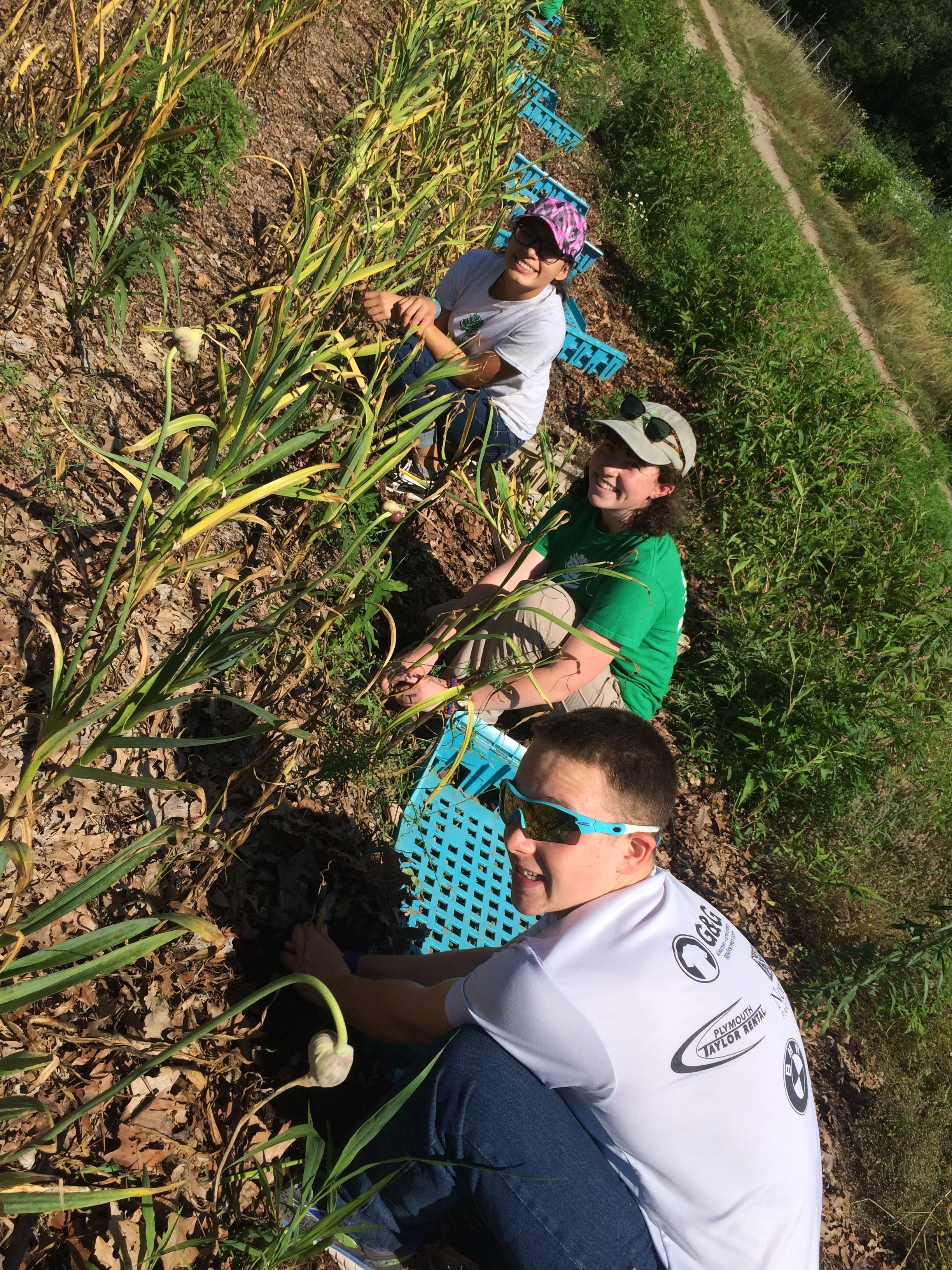 Day Five: Garlic harvesting at Bay End Farm, Bourne