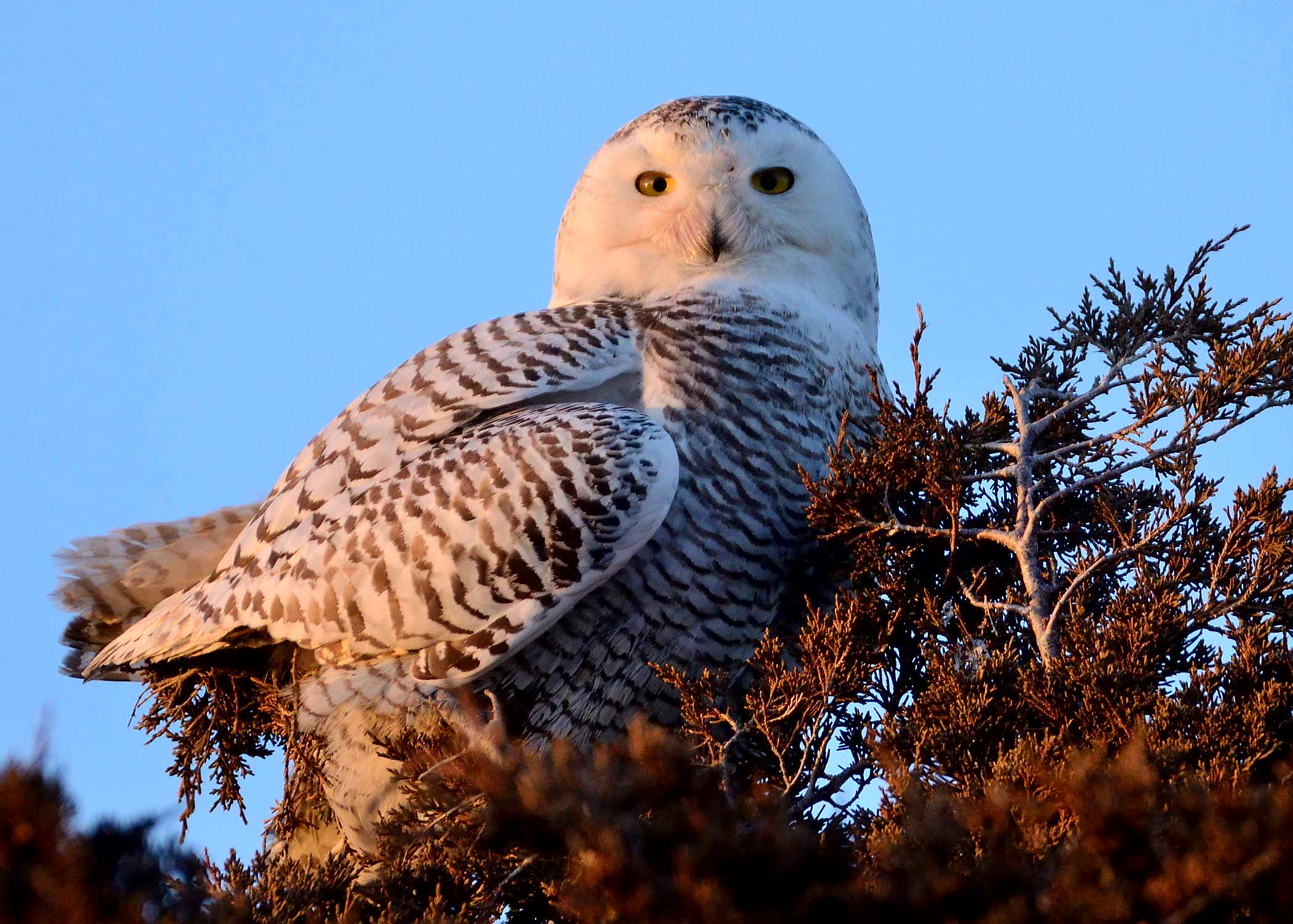 A snowy owl at rest at MacDonald Farm.  Photo courtesy of Jim Petit.